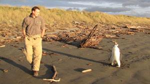 Especialista do Departamento de Conservação da Nova Zelândia observa Happy Feet (Foto: AFP/Departamento de Conservação da Nova Zelândia)