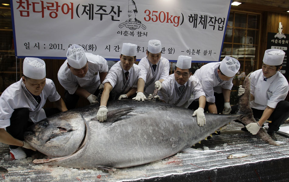 Chefs de sushi tentam erguer um enorme atum-rabilho antes de cortá-lo em pedaços no centro de Seul, na Coreia do Sul. Com 350 kg e 2,7 metros de comprimento, este foi o maior atum-rabilho já pescado no país, e seu preço é avaliado em cerca de US$ 23 mil. (Foto: Lee Jin-man/AP)
