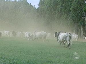 Em MS, pecuaristas investem para evitar morte de gado pelo frio intenso (Foto: Reprodução/TV Morena)
