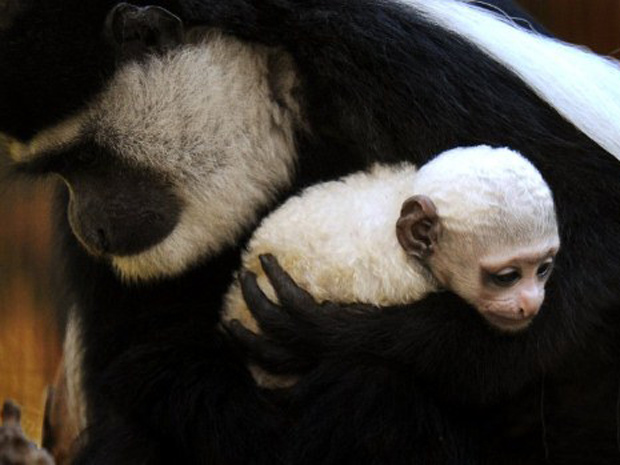 A mãe Clover com o macaco colobo recém-nascido na Austrália. (Foto: William West / AFP Photo)