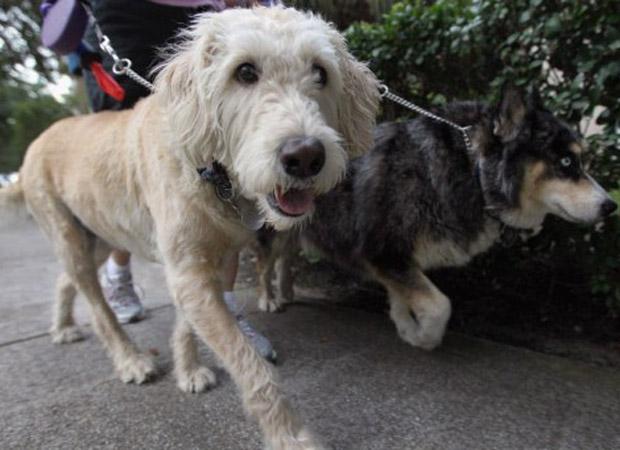 Cães passeiam na quinta-feira (3) no condomínio Village of Abacoa, em Jupiter, no estado americano da Flórida. O condomínio decidiu que, a partir desta sexta, vai fazer análise de DNA nas fezes dos cães para descobrir quem são os donos que deixam cocô nas calçadas (Foto: AFP)