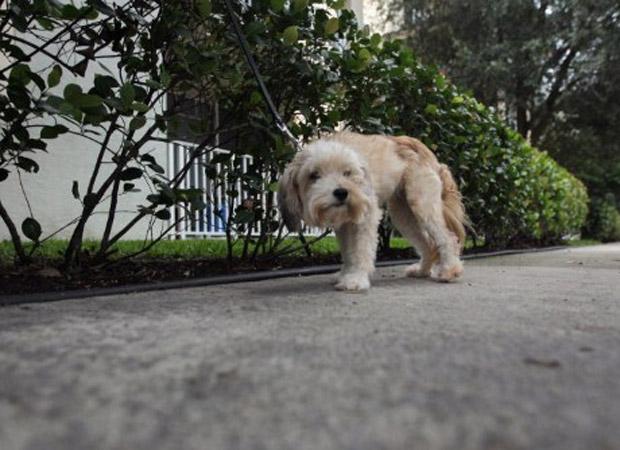 Cada condômino terá de pagar uma taxa de US$ 200 por cachorro para que uma amostra do DNA canino seja colhida e arquivada. Caso uma sujeira indesejada apareça no chão, ela será analisada e cruzada com o banco de dados, para determinar de quem é a culpa (Foto: AFP)
