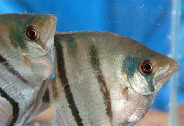 Espécie de peixe que vive em rios da Amazônia recolhida por pesquisadores do Inpa. Ao menos 300 diferentes tipos de peixe participarão da simulação. (Foto: Divulgação/Adapta)