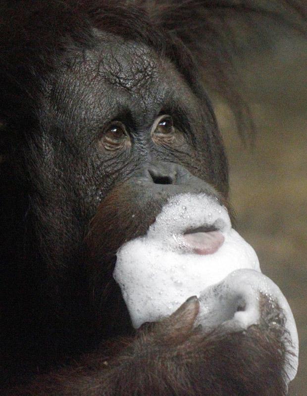 Goyang, um orangotango de 12 anos, brinca com espuma em piscina instalada para ele no zoológico de Pittsburgh na sexta-feira (1º). O zoo fez uma 'festa na praia' para os orangotangos para atrair visitantes (Foto: Keith Srakocic/AP)