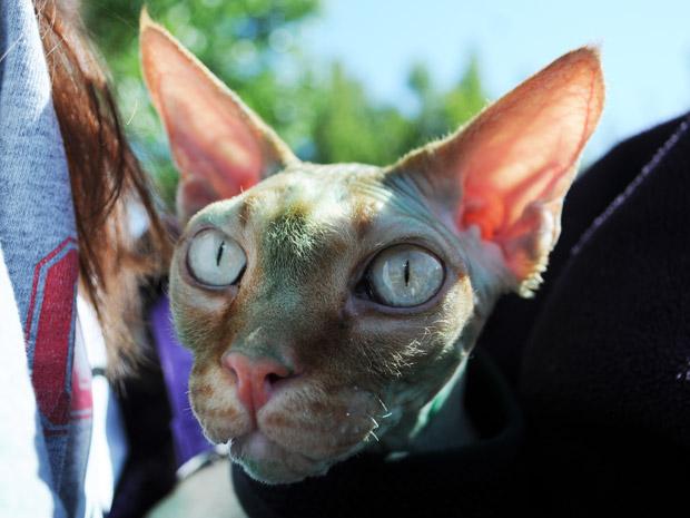 O gato Darius, da raça Sphynx, participa do festival de animais de estimação fantasiados de alienígenas em Roswell, no estado americano do Novo México, neste sábado (2) (Foto: AP)