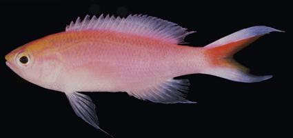Peixe da espécie Pseudanthias bimarginatus, descoberto no Oceano Índico próximo às ilhas Maldivas (Foto: John E Randall/Practical Fishkeeping)