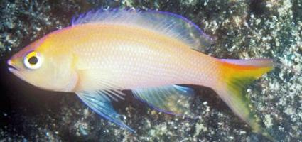 Espécie Pseudanthias unimarginatus foi descoberta nas proximidades da Ilha Maurícia. (Foto: Reprodução/Practical Fishkeeping)