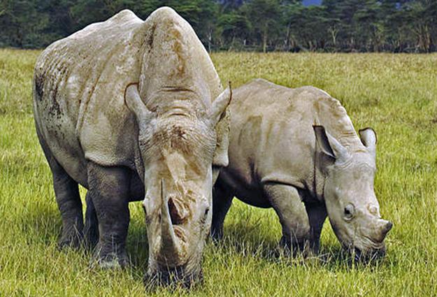 Fêmea adulta de rinoceronte africano com filhote, fotografados em parque nacional do Quênia (Foto: Martin Harvey/WWF)