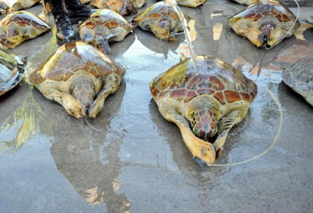Exemplares de tartaruga-verde recebem jatos de água em praia de Bali, na Indonésia, enquanto aguardam retorno ao mar (Foto: Sonny Tumbelaka/AFP)