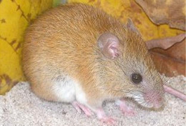 Ratinho-goyatacá, novo mamífero descoberto em parque nacional do estado do Rio de Janeiro (Foto: Divulgação/Pablo Gonçalves/ICMBio)