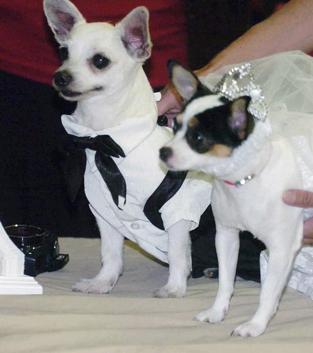 Os chihuahuas Sparky Perez (à esquerda) e Peanut Bobik 'casal' em centro de recuperação em Wheaton, no estado americano do Illinois, e, 30 de junho, em foto divulgada agora. O 'casamento canino' foi organizado por uma enfermeira para distrair os internos (Foto: AP)