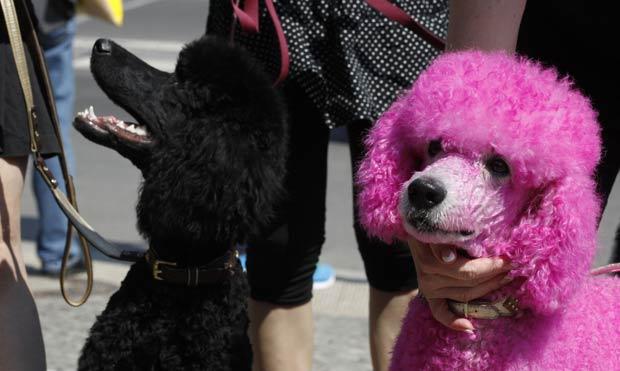 Um cão pintado de rosa foi flagrado nesta quarta-feira (6) na entrada da Semana de Moda Primavera-Verão de Berlim, na Alemanha.  (Foto: Tobias Schwarz/Reuters)