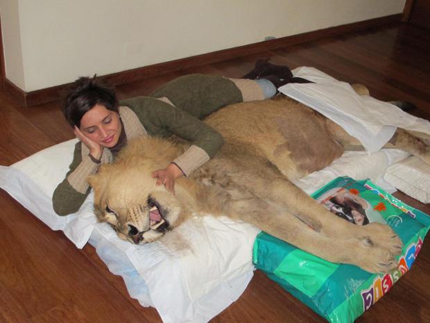 leão tetraplégico (Foto: Caroline Hasselmann/G1)