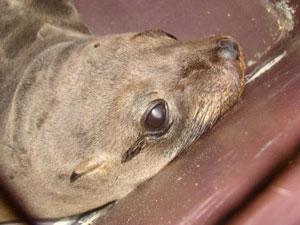 Animal receberá tratamento no Aquário de Santos (Foto: Reprodução/TV Tribuna)