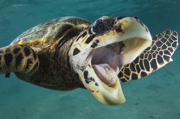 Adam Broadbent fotografou um tartaruga sorrindo nas Maldivas (Foto: Adam Broadbent/Barcroft USA/Getty Images)