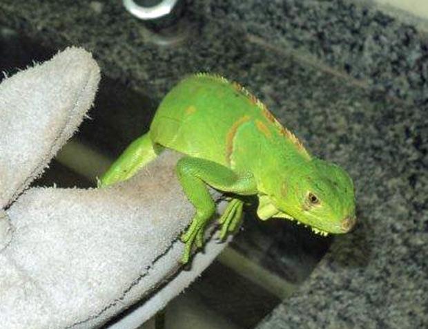 Iguana enviada peo suspeito e interceptada pelos Correios. (Foto: Ibama - RN / Divulgação)
