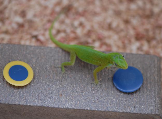 Lagarto da espécie Anolis evermanni durante testes realizados nos Estados Unidos. Resultados desafiam o estereótipo científico de que os répteis tem capacidade limitada encontrar comida. (Foto: Manuel Leal/Duke University)