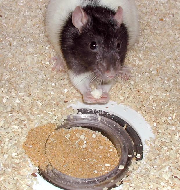 Memória dos ratos foi testada com diferentes tipos de alimentos (Foto: Richard Morris / University of Edinburgh / Divulgação)