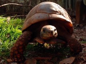 Tartaruga é uma das companhias de leão em zoológico desativado em Ivinhema (Foto: Divulgação/Ivinotícias)