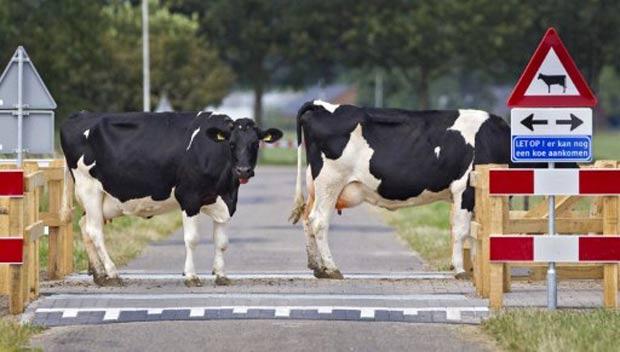 Cidade de Voorst, na Holanda, conta com uma faixa para passagem de vacas. (Foto: Koen Suyk/AFP)