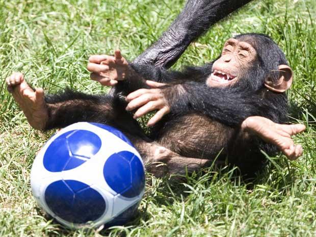 Em junho de 2010, um filhote de chimpanzé foi flagrado se divertindo no zoológico de Ramat Gan, em Israel. (Foto: AP)