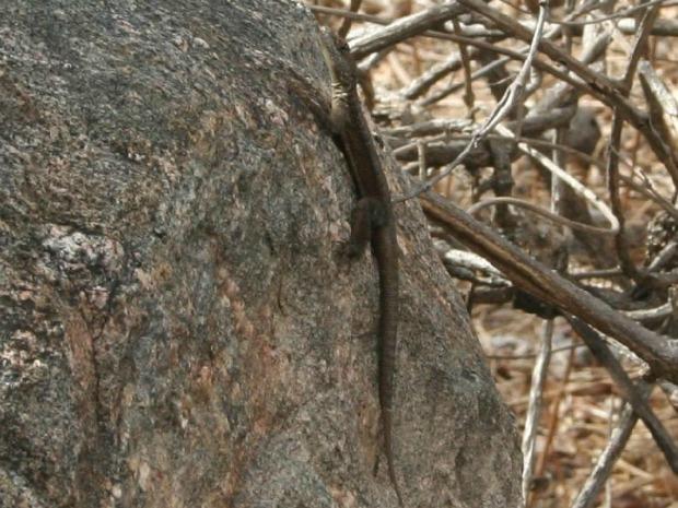 Nova espécie de lagarto foi encontrado na Região Jaguaribana, no Ceará (Foto: Daniel Cassiano Lima/ Nurof-UFC)