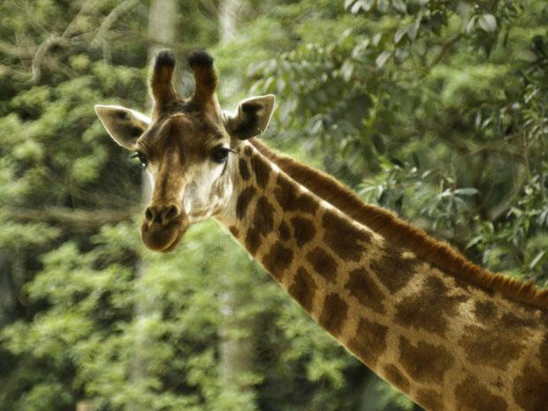 Girafa Cristal, que morreu na semana passada  (Foto: Divulgação/Zoológico de São Paulo)
