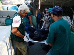 Chimpanzé Jimmy (Foto: Pablo Jacob/Agência O Globo)
