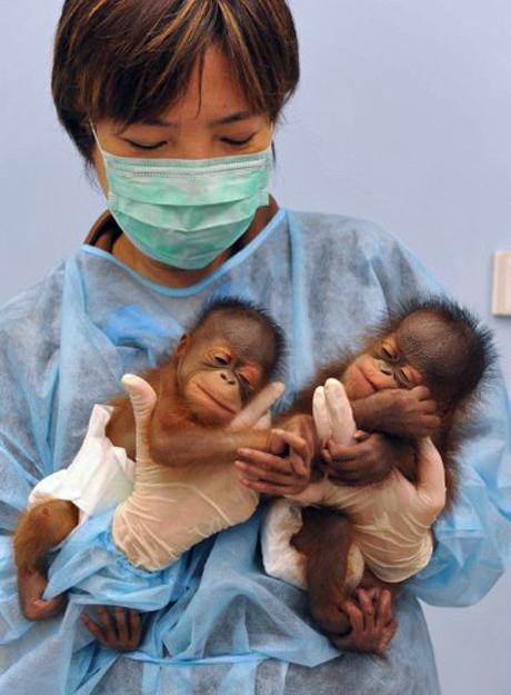 Funcionária do zoológico de Hong Kong segura filhotes de orangotango, nascidos há cinco dias. O filhote da esquerda é uma fêmea, enquanto o da direita é um macho. Foi o primeiro caso de nascimento de orangotangos no zoológico. (Foto: AFP)