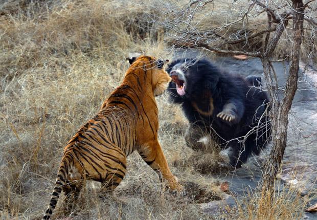 Mamãe ursa enfrenta tigre (Foto: Caters)