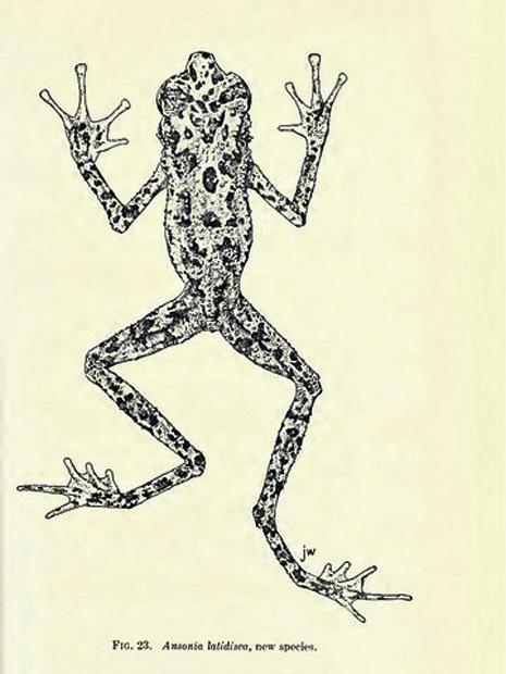 Ilustração feita em 1924 foi último vestígio sobre a espécie Ansonia latidisca (Foto: Divulgação/Fieldiana Zoology)