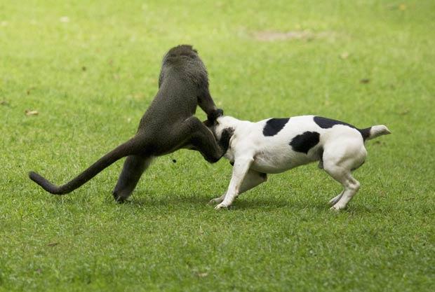 Fotógrafos chegaram a pensar que animais estivessem brigando. (Foto: Vicki e Adam Scott Kennedy/Barcroft Media/Getty Images)