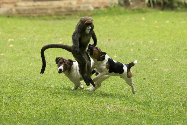 Macaco brinca com cães em Kitale. (Foto: Vicki e Adam Scott Kennedy/Barcroft Media/Getty Images)