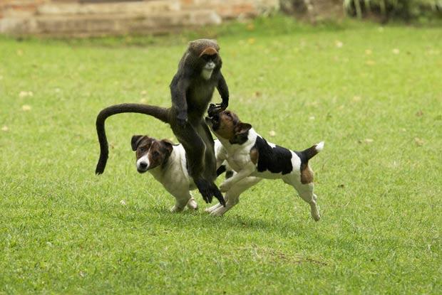 Macaco brinca com cães em Kitale. (Foto: Vicki e Adam Scott Kennedy/Barcroft Media/Getty Images)