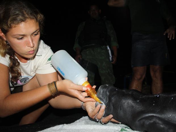 Somente neste ano foram nove filhotes de peixe-boi resgatados pela Ampa no Amazonas (Foto: Divulgação/Assessoria Ampa)