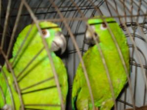 papagaios  (Foto: Assessoria Ibama/MT)
