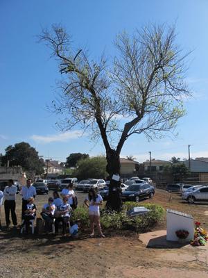 Árvore que resistiu ao acidente ficará em terreno (Foto: Juliana Cardilli/G1)