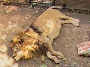 O zoológico onde morava o leão Simba, em MS, foi desativado. Após 6 anos de espera, ele deve ser transferido para SP. (Foto: Arquivo Pessoal)