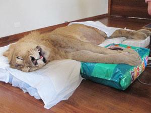 Leão Ariel mobilizou uma corrente solidária na internet. Depois dele, vários donos de animais vêm usando a rede para conseguir ajuda. (Foto: Caroline Hasselmann/G1)