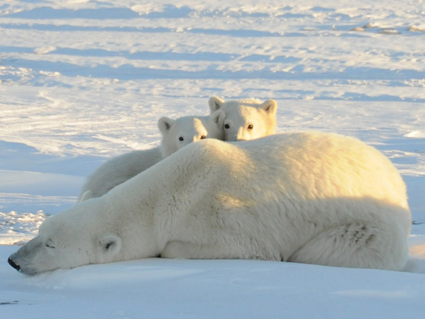 Urso polar (Foto: Geoff York/World Wildlife Fund/Handout/Reuters)