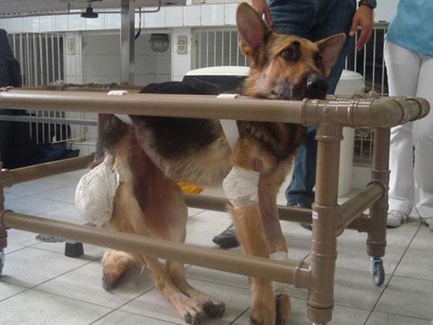 O cachorro Buba passa por sessões de fisioterapia e faz exercícios em um andador. Os donos de uma clínica veterinária adotaram o cão com tetraplegia. (Foto: Arquivo Pessoal)