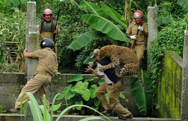 Leopardo ataca guarda florestal durante operação para capturá-lo. (Foto: Diptendu Dutta/AFP)