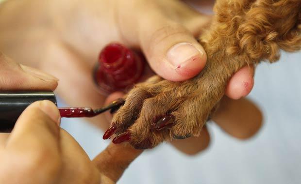 Um spa canino em Cainta, na região metropolitana de Manila, nas Filipinas, com um serviço de 'pedicure' para os animais. Na foto, a cadela chamada 'Maggie' pinta as unhas. (Foto: Erik de Castro /Reuters)