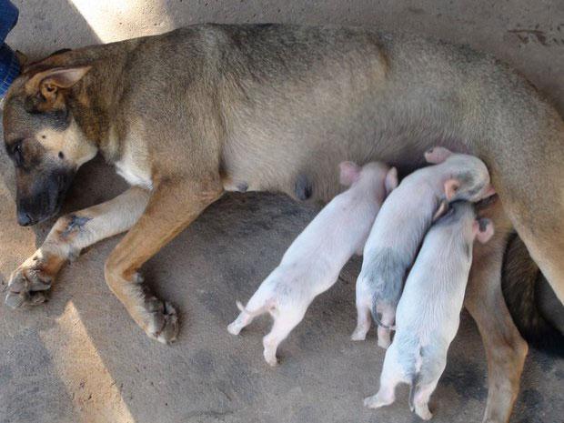 Filhotes de leitão, que viviam no sítio vizinho ao da cadela vira-lata, foram rejeitados pela mãe após o parto (Foto: Reprodução/EPTV)
