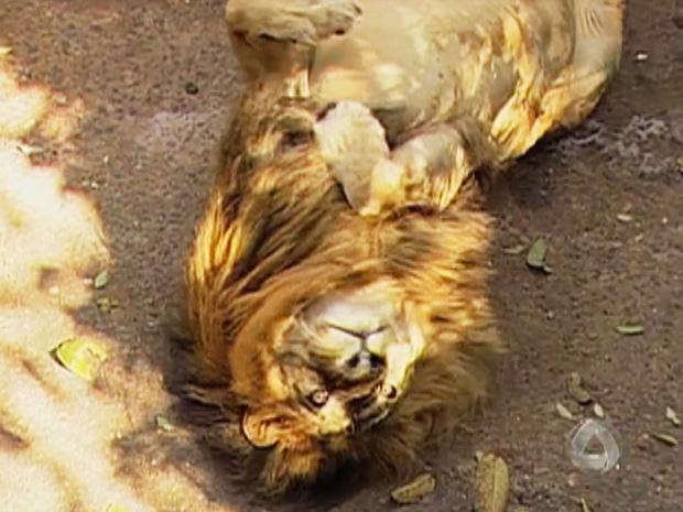 O zoológico onde morava o leão Simba, em MS, foi desativado. Após 6 anos de espera, ele deve ser transferido para SP. (Foto: Reprodução/TV Morena)