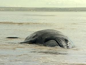 Baleia Jubarte encalha em praia do Espírito Santo (Foto: Reprodução/TV Gazeta)
