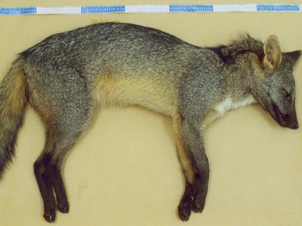 Exemplar de cachorro-do-mato atropelado e que foi utilizado na pesquisa de doenças feitas pela Unesp (Foto: Divulgação/Unesp)