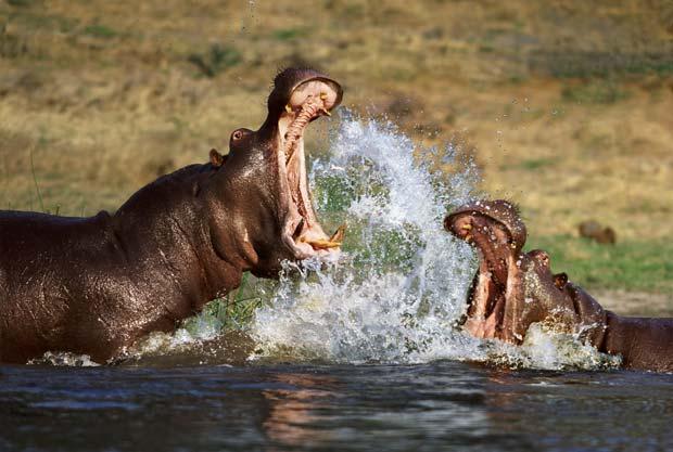 Hipopótamos durante briga em rio em Botsuana. (Foto: Steve Bloom/Barcroft Media/Getty Images)