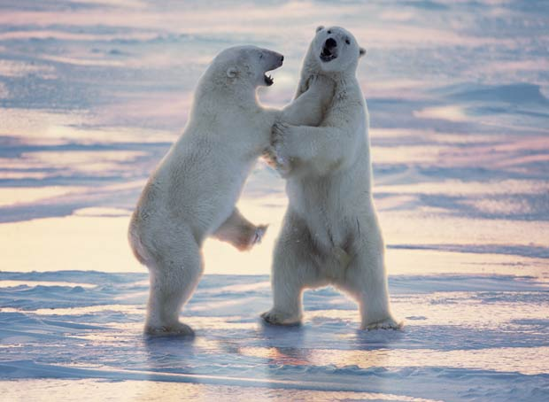 Ursos polares lutam em Cape Churchill, em Manitoba, no Canadá. (Foto: J&B Photographers/Barcroft Media/Getty Images)