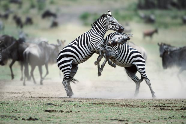 Zebras são flagradas em combate na reserva de Masai Mara, no Quênia. (Foto: Steve Bloom/Barcroft Media/Getty Images)